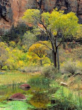 Fremont Cottonwoods, Zion National Park, Utah, USA by Scott T. Smith