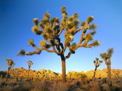 Joshua Tree (Yucca Brevifolia) at Sunset, Mojave Desert, Joshua Tree National Park, California, Usa by Scott T. Smith