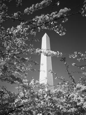 Monument with Cherry Blossom in Foreground, Washington DC, USA by Scott T. Smith
