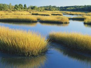 Reeds Growing in Marsh, Maine, USA by Scott T. Smith