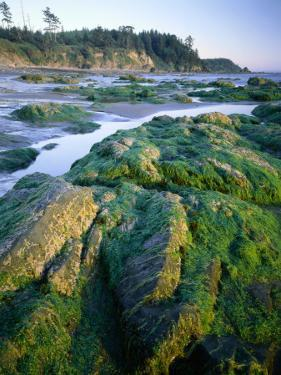Seaweed on Rocks During Low Tide Near Cape Alava, Olympic National Park, Washington, USA by Scott T. Smith