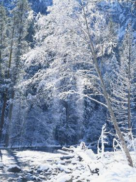 Snow Covered Trees Along Merced River, Yosemite Valley, Yosemite National Park, California, USA by Scott T. Smith