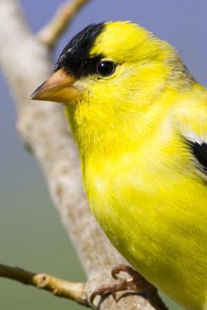 Utah. Male American goldfinch in spring.