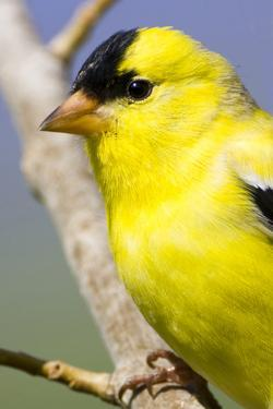 Utah. Male American goldfinch in spring. by Scott T. Smith