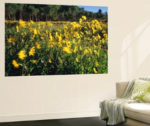 View of Sunflower and Aspen Meadow, Sierra Madre, Wyoming, USA by Scott T. Smith