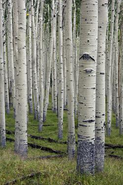 Aspen Trees Along the Inner Basin Trail in the Coconino National Forest by Scott Warren