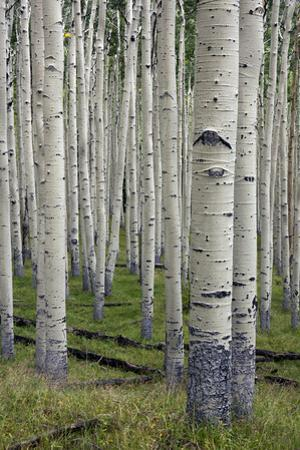 Aspen Trees Along the Inner Basin Trail in the Coconino National Forest