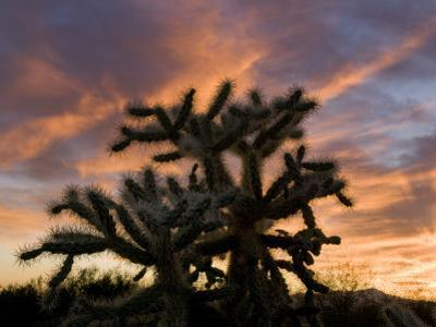 Cholla Cactus in Tucson Mountain County Park
