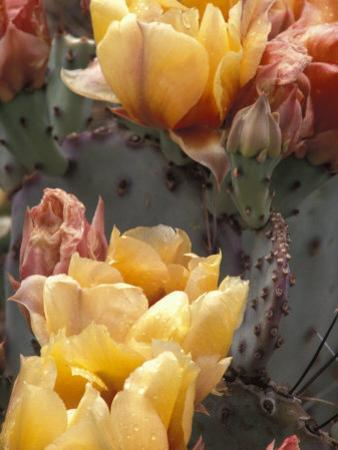 Flowering Cactus at the Boyce Thompson Southwestern Arboretum by Scott Warren