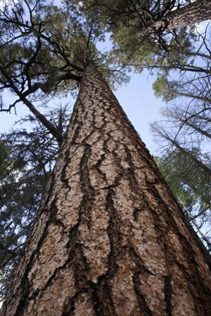 Tall Ponderosa Pines Along the Indian Spring Trail in the Apache National Forest by Scott Warren