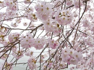 Yoshino Cherry Blossoms During the Cherry Blossom Festival by Scott Warren