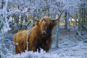 Scottish Highland Cow in Frost