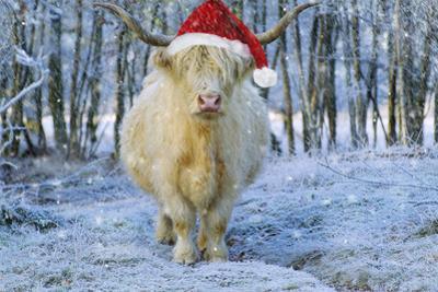 Scottish Highland Cow in Snowy Scene