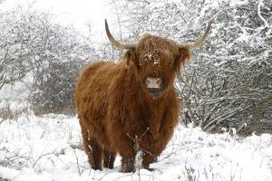 Scottish Highland Cow in the Snowy Foreland of River Ijssel