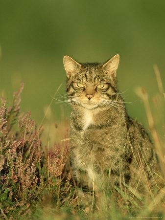 https://imgc.allpostersimages.com/img/posters/scottish-wildcat-felis-sylvestris-pure-bred-male-august-highlands-scotland_u-L-Q10R1O10.jpg?artPerspective=n