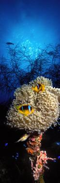 Sea Anemone and Allard's Anemonefish in the Ocean