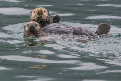 https://imgc.allpostersimages.com/img/posters/sea-otter-and-pup-icy-strait-alaska-usa_u-L-Q1D0I3I0.jpg?artPerspective=n