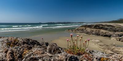 Sea pink (Armeria maritima) wildflowers on Long Beach, Pacific Rim National Park Reserve, Vancou...