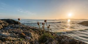 Sea pink (Armeria maritima) wildflowers on Long Beach, Pacific Rim National Park Reserve, Vancou...