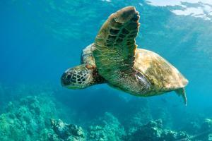 Sea Turtle Fly by M Sweet