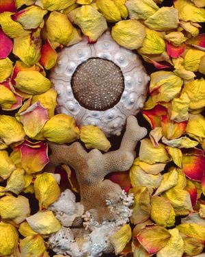 Sea Urchin rose Petals