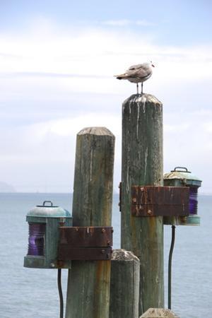 Seagul on Sausalito Pier, Marin County, California