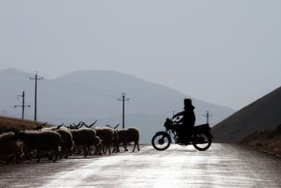 A Tibetan Farmer Herds His Cattle Using a Motorcycle