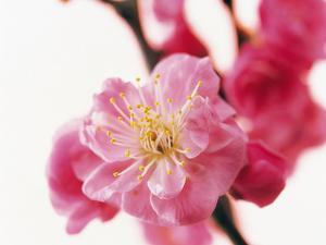 Selective Focus on Cherry Blossom
