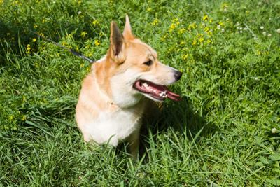 A Welsh Corgi Pembroke Dog in the Grass by SelenaRus