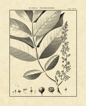 Vintage Botanical Study VI by Sellier