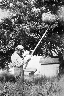 Senior Man Harvests Apples, Ca. 1926