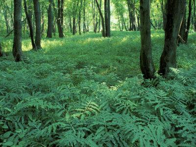 https://imgc.allpostersimages.com/img/posters/sensitive-ferns-and-silver-maples-floodplain-forest-upper-merrimack-river-new-hampshire-usa_u-L-P49UQN0.jpg?p=0