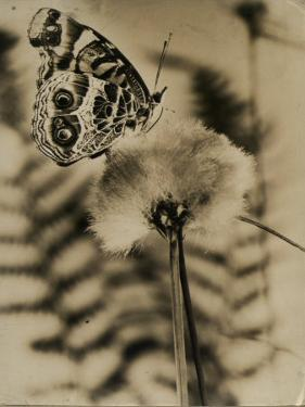 Sepia Photo of Butterfly on a Dandelion