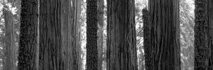 Sequoia Grove Sequoia National Park California Usa