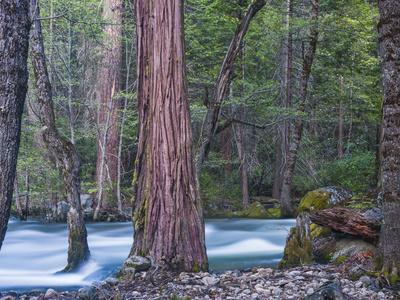 https://imgc.allpostersimages.com/img/posters/sequoias-and-merced-river-yosemite-national-park-california-usa_u-L-Q1D02K70.jpg?artPerspective=n