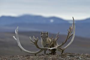 Arctic Fox (Vulpes Lagopus) Standing Next To Reindeer Skull by Sergey Gorshkov