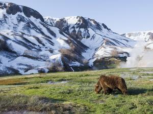 Brown Bear (Ursus Arctos) Foraging, Kamchatka, Russia by Sergey Gorshkov/Minden Pictures