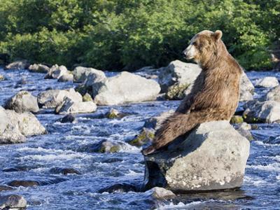 Brown Bear (Ursus Arctos) Sitting on Rock in River, Kamchatka, Russia