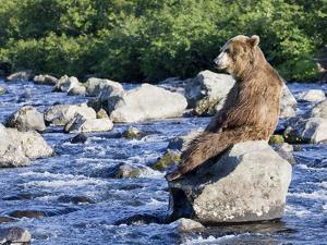 Brown Bear (Ursus Arctos) Sitting on Rock in River, Kamchatka, Russia by Sergey Gorshkov/Minden Pictures