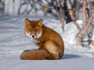 Red Fox (Vulpes Vulpes) Sitting on Snow, Kamchatka, Russia by Sergey Gorshkov/Minden Pictures