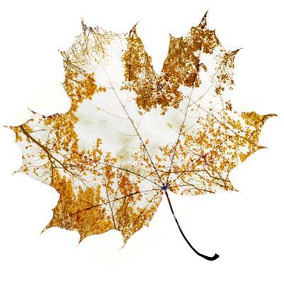 Autumn Maple Leaf by Sergey Peterman