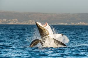 Great White Shark ( Carcharodon Carcharias ) Breaching in an Attack . South Africa by Sergey Uryadnikov
