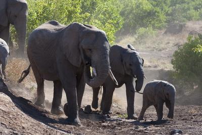 African Elephant (Loxodonta Africana), Mashatu Game Reserve, Botswana, Africa