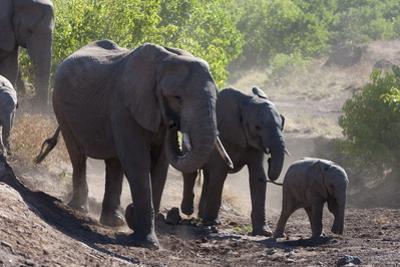 African Elephant (Loxodonta Africana), Mashatu Game Reserve, Botswana, Africa by Sergio