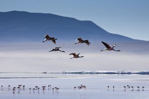 A Flock of Pink Andean Flamingos Take Flight Above Laguna Colorada in Sud Lipez Region of Bolivia by Sergio Ballivian