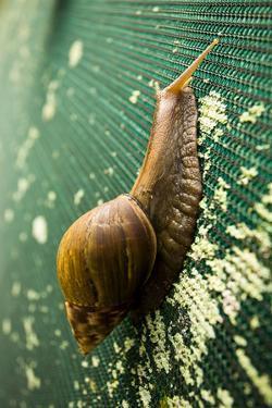 A Large Snail in Kauai, Hawaii by Sergio Ballivian