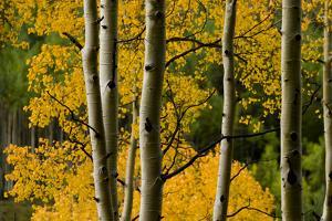 Aspen Trees During Fall in the Rocky Mountains of Colorado by Sergio Ballivian