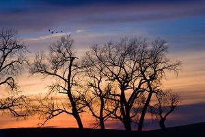 Cottonwood Trees are Silhouetted Against an Orange and Blue Sunset Near Lincoln, Nebraska by Sergio Ballivian