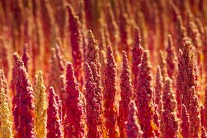 Red Quinoa on Bolivia's High-Altitude Altiplano Region Next to the Andes Mountains by Sergio Ballivian