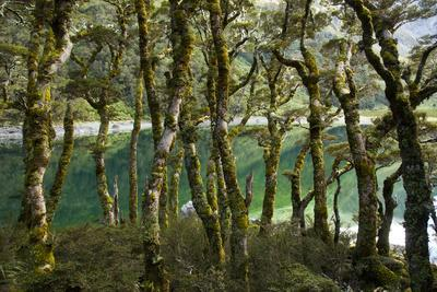 The Gnarled, Moss-Covered Trunks of Trees on the Routeburn Trak in New Zealand's South Island